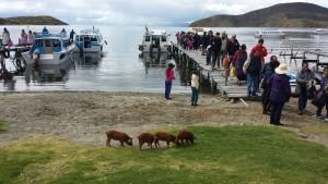 cochons-isla-del-sol